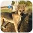 Photo 1 - German Shepherd Dog Dog for adoption in castalian springs, Tennessee - Rocky