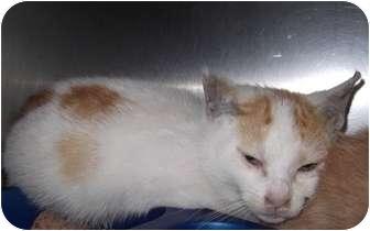Calico Kitten for adoption in Whitestone, New York - Rhonda