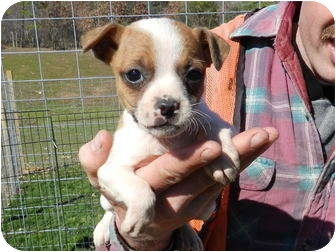 Boston Terrier/Feist Mix Puppy for adoption in Lawrenceburg, Tennessee - Naomi