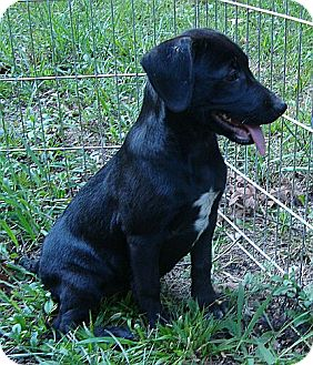 Labrador Retriever Mix Puppy for adoption in Hagerstown, Maryland - Monday ($275 fee)