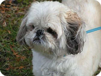 Shih Tzu Dog for adoption in Rigaud, Quebec - Paco