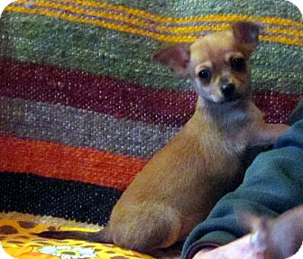 Chihuahua/Yorkie, Yorkshire Terrier Mix Puppy for adoption in Greencastle, North Carolina - Rafe