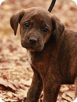 Boxer/Labrador Retriever Mix Puppy for adoption in Plainfield, Connecticut - Tutu Tulip (SG)