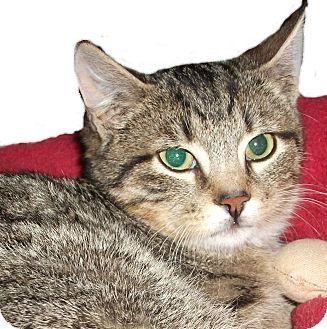 Domestic Shorthair Kitten for adoption in Colmar, Pennsylvania - Lewis