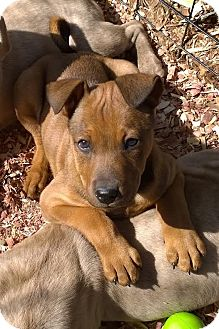 Basenji Mix Puppy for adoption in High View, West Virginia - Zoey