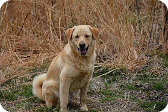 Shepherd (Unknown Type)/Labrador Retriever Mix Dog for adoption in Grenada, Mississippi - Chuck