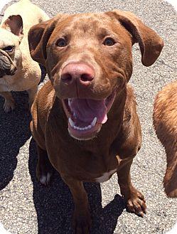 Labrador Retriever Mix Puppy for adoption in Middletown, Rhode Island - Shiloh