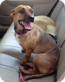 Dachshund/Hound (Unknown Type) Mix Dog for adoption in Gainesville, Florida - Carly
