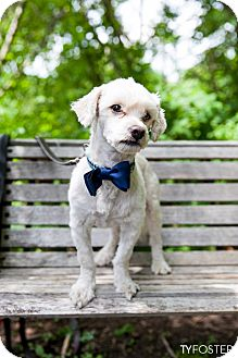 Maltese Mix Dog for adoption in Norwalk, Connecticut - Boogie
