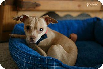 Chihuahua Mix Dog for adoption in West Richland, Washington - Joshi