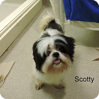 Shih Tzu Mix Dog for adoption in Slidell, Louisiana - Scotty