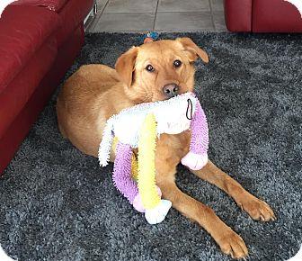 Labrador Retriever/Golden Retriever Mix Dog for adoption in Overland Park, Kansas - Chelsea