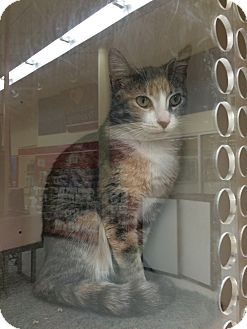 Domestic Shorthair Cat for adoption in Orland Park, Illinois - Tessie