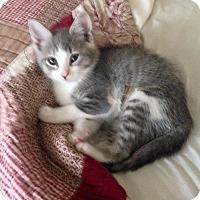 Adopt A Pet :: Clementine - Port Republic, MD
