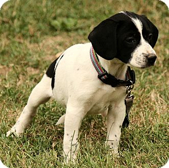 Beagle/Jack Russell Terrier Mix Puppy for adoption in Albany, New York - Hogan