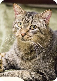 Domestic Shorthair Cat for adoption in Chicago, Illinois - Napolean Dynomite