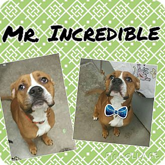 Boxer/Pit Bull Terrier Mix Dog for adoption in Bryan, Ohio - Mr. Incredible