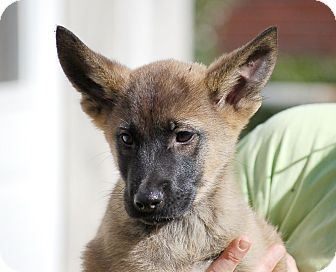 German Shepherd Dog/Belgian Shepherd Mix Puppy for adoption in Preston, Connecticut - Dixie AD 01-23-16