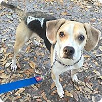 Adopt A Pet :: Bea#1M (Leo) - Orlando, FL