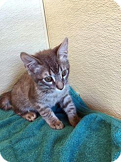 Domestic Shorthair Kitten for adoption in Las Vegas, Nevada - Desmond