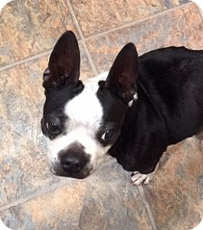 Boston Terrier Dog for adoption in Jackson, Tennessee - Ivy