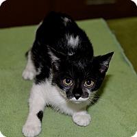 Adopt A Pet :: Dominique - Medina, OH