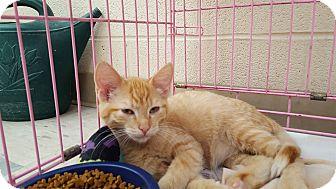 Domestic Shorthair Kitten for adoption in Elyria, Ohio - Huey