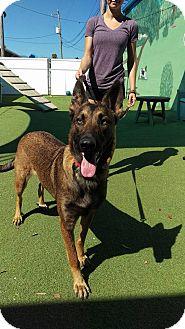 Belgian Malinois Dog for adoption in Cape Coral, Florida - Kimber
