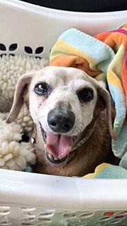 Dachshund Dog for adoption in Weston, Florida - Verona
