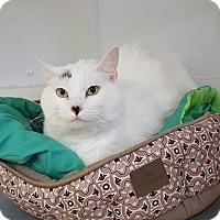 Adopt A Pet :: Meowalyn Monroe - Hawk Point, MO
