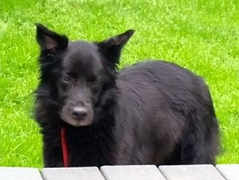 Flat-Coated Retriever Mix Dog for adoption in Rockaway, New Jersey - Maggie Gaston