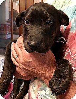Labrador Retriever Mix Puppy for adoption in ST LOUIS, Missouri - CLOVER