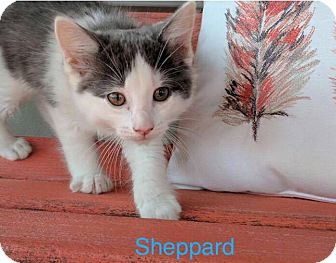 Domestic Mediumhair Kitten for adoption in Painted Post, New York - Sheppard
