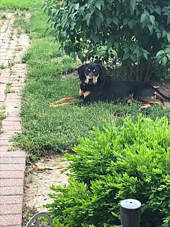 Black and Tan Coonhound Dog for adoption in Plainfield, Illinois - Copper