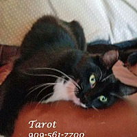 Domestic Mediumhair Cat for adoption in Monrovia, California - A Sleek Set: TAROT (& Taboo)