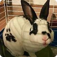 Adopt A Pet :: Patchouli - Woburn, MA