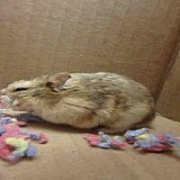 Adopt A Pet :: SHEA - Los Angeles, CA