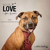 Adopt A Pet :: Duke - Mount Laurel, NJ