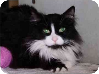 Domestic Longhair Cat for adoption in Walker, Michigan - Whiskers