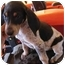 Photo 1 - Bluetick Coonhound/Treeing Walker Coonhound Mix Puppy for adoption in Hayden, Idaho - Hugo