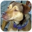 Photo 3 - German Shepherd Dog/Rhodesian Ridgeback Mix Dog for adoption in Berkeley, California - Nina