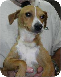 Chihuahua Mix Dog for adoption in Beacon, New York - Citrus