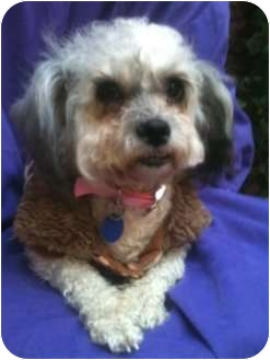 Miniature Poodle/Shih Tzu Mix Dog for adoption in Long Beach, California - CHANNEL