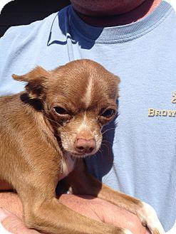 Chihuahua Dog for adoption in Poulsob, Washington - Fonzie