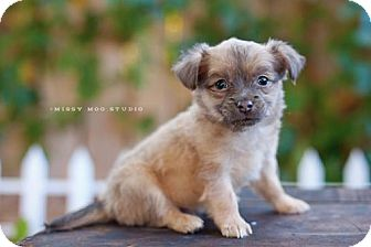 Chihuahua/Dachshund Mix Puppy for adoption in West Richland, Washington - Bear