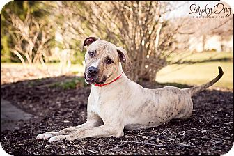 American Pit Bull Terrier/American Pit Bull Terrier Mix Dog for adoption in Columbus, Ohio - Timmy
