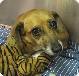 Dachshund/Beagle Mix Dog for adoption in Oak Ridge, New Jersey - Harper
