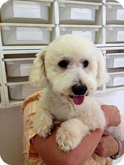 Bichon Frise Mix Dog for adoption in Thousand Oaks, California - Baxter