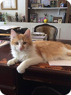Domestic Mediumhair Cat for adoption in Clarksville, Tennessee - Louie