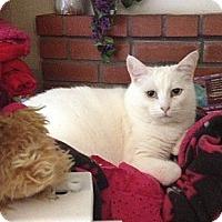 Adopt A Pet :: Ivory - Santa Rosa, CA